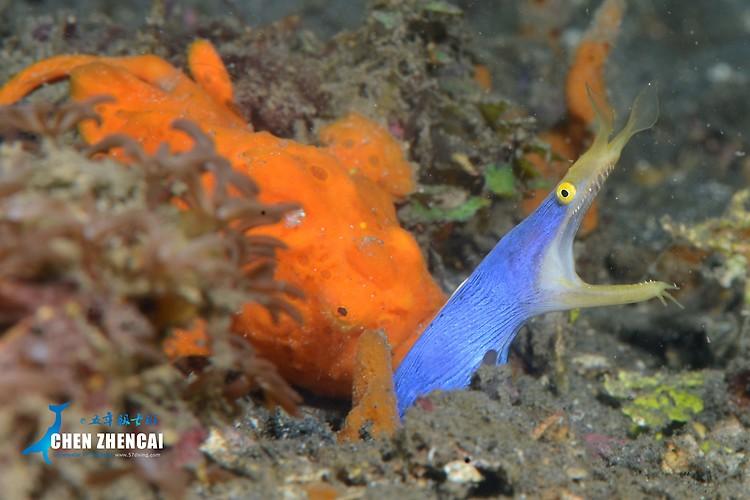 Painted frogfish, Antennarius pictus, Blue ribbon eel, Rhinomuraena quaesita Lembeh Strait Indonesia April 2013