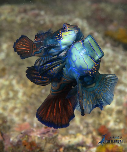 Mandarin fish, Synchiropus splendidus Lembeh Strait Indonesia April 2013