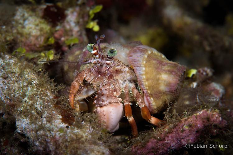 Anemone hermit crab, Dardanus pedunculatus, Lembeh Strait Indonesia March 2015