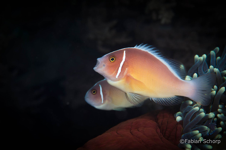 Pink skunk clownfish, Amphiprion perideraion, Lembeh Strait Indonesia, March 2015