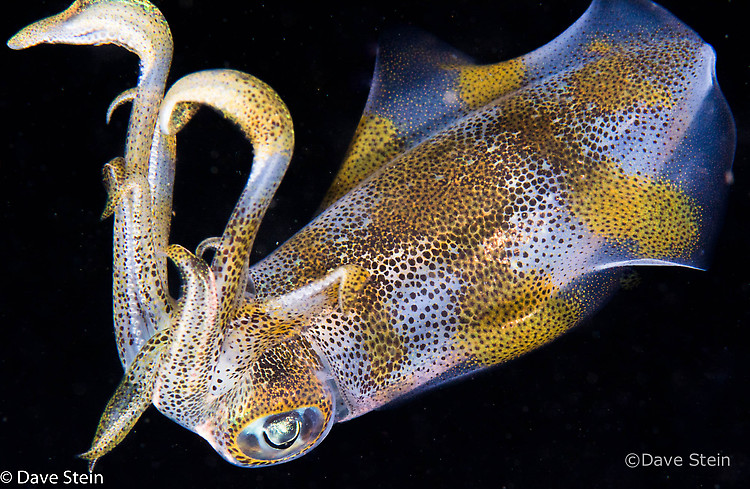 Big fin reef squid, Sepioteuthis lessoniana, Lembeh Strait Indonesia March 2015