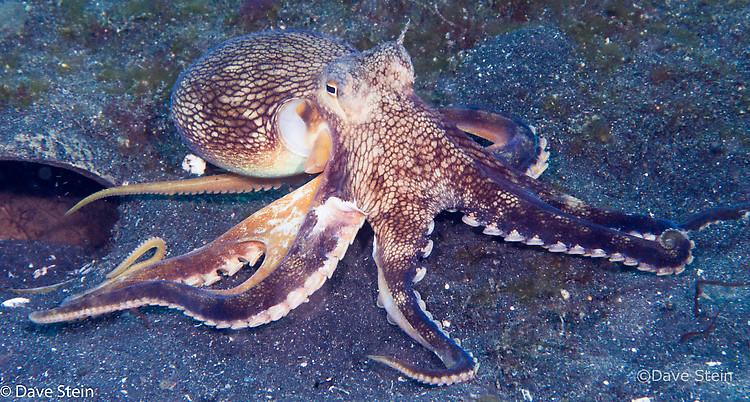 Coconut octopus, Amphioctopus marginatus, Lembeh Strait Indonesia, March 2015
