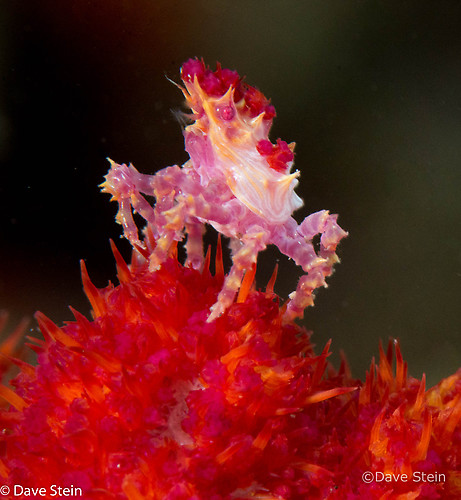 Candy crab Hoplophrys oatesii Lembeh Strait Indonesia March 2015