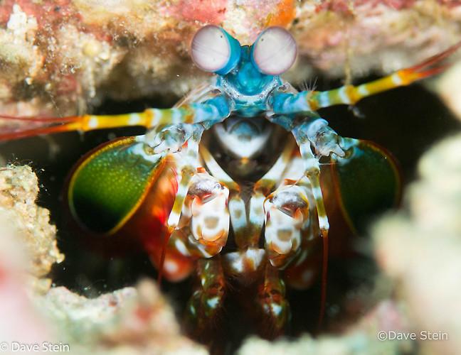 Peacock Mantis Shrimp (Odontodactylus scyllarus) Lembeh Strait Indonesia March 2015