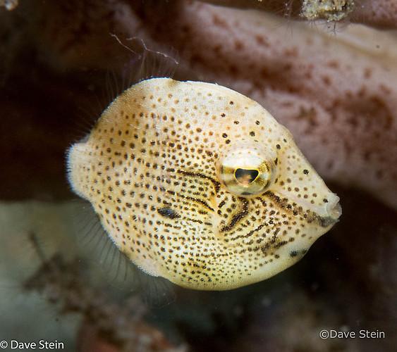 Japanese inflator filefish, Brachaluteres ulvarum, Lembeh Strait Indonesia March 2015
