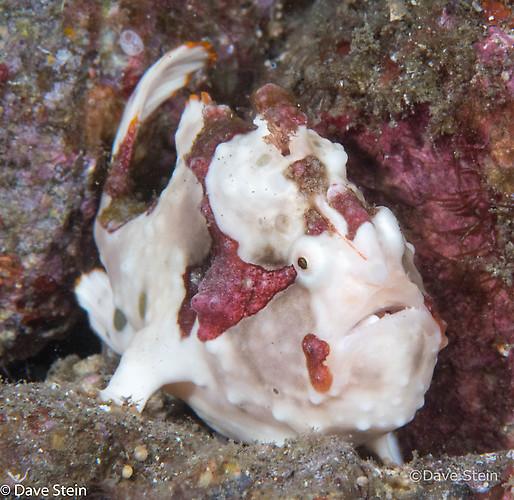 Warty frogfish, Antennarius maculatus, Lembeh Strait Indonesia March 2015