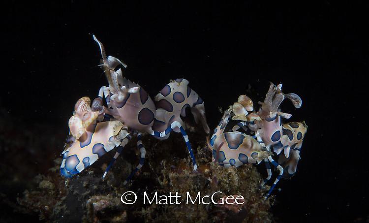 Harlequin-Shrimp (Hymenocera elegans) Lembeh Strait Indonesia January 2015