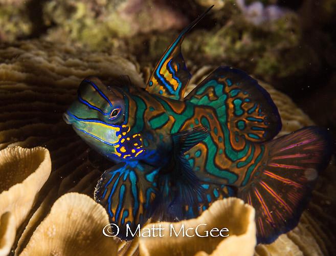Mandarinfish, Synchiropus splendidus, Lembeh Strait Indonesia, January 2015