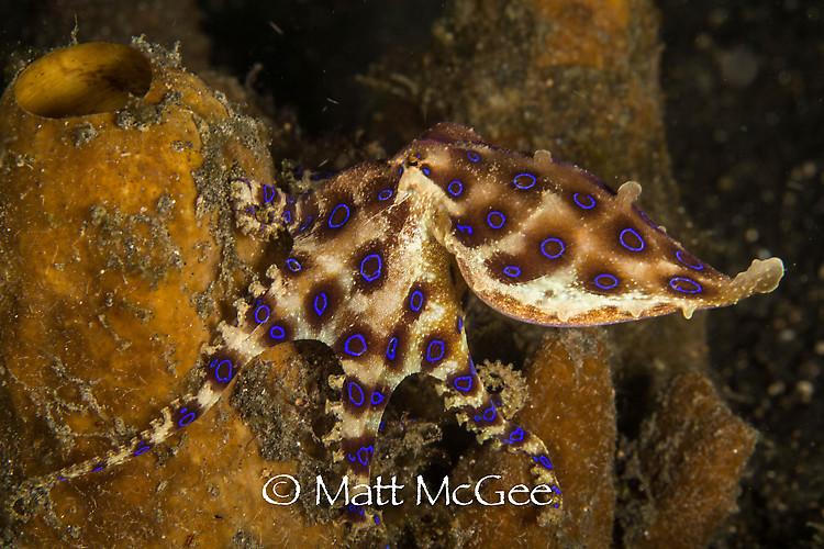 Blue-ringed octopus, Hapalochlaena sp Lembeh Strait Indonesia January 2015