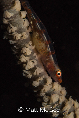 Whip coral goby, Bryaninops yongei, Lembeh Strait Indonesia March 2015