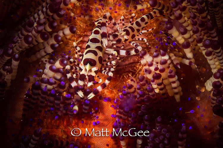 Coleman shrimp, Periclimenes colemani, Lembeh Strait Indonesia, January 2015
