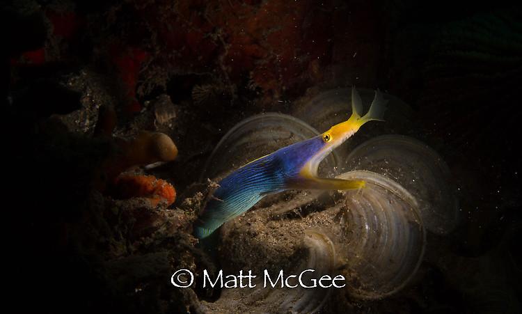Blue ribbon eel, Rhinomuraena quaesita, Lembeh Strait Indonesia January 2015