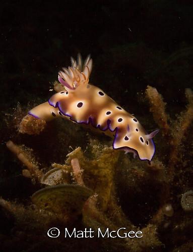 Hypselodoris tryoni, Lembeh Strait Indonesia, January 2015