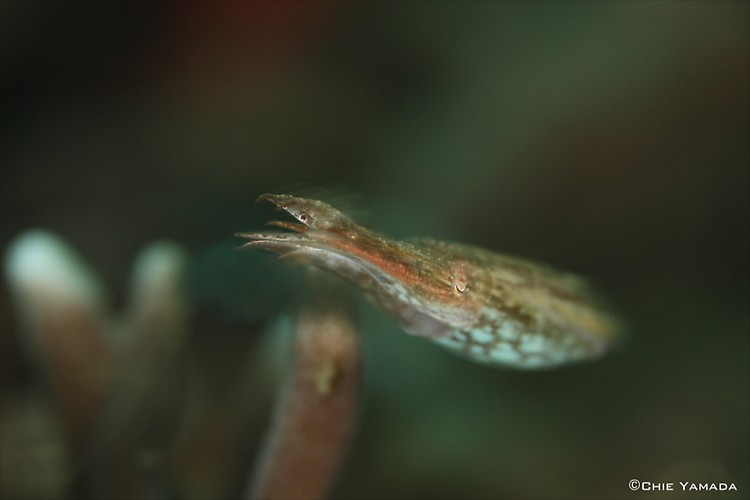 Cuttelfish