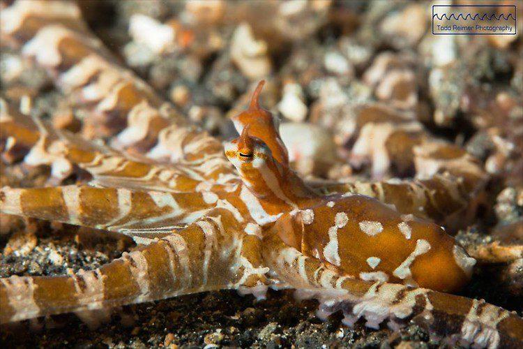 Wunderpus Octopus, Wunderpus photogenicus, Lembeh Strait Indonesia 2014