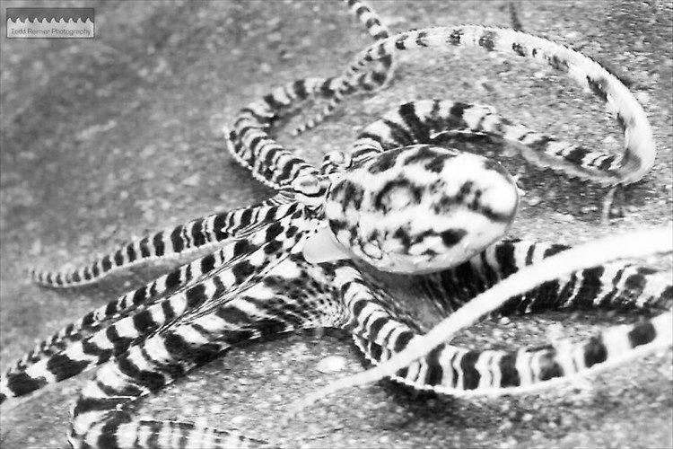 Mimic Octopus, Thaumoctopus mimicus, Lembeh Strait Indoesia 2014
