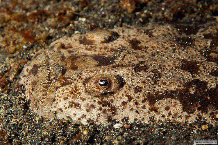 Stargazer, Uranoscopus sp., Lembeh Strait Indonesia 2014
