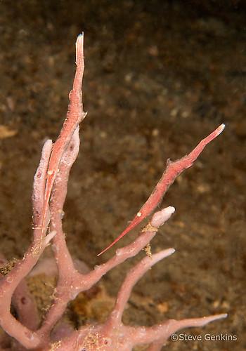 Ocellated Tozeuma shrimp, Tozeuma lanceolatum, Lembeh Strait Indonesia, March 2015