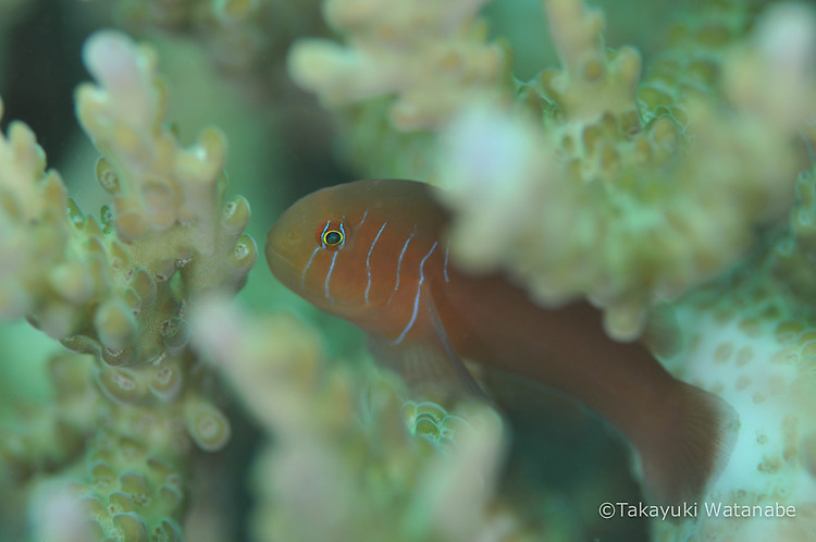 Five-lined goby, Gobiodon quinquestrigatus, Lembeh Strait Indonesia, March 2015