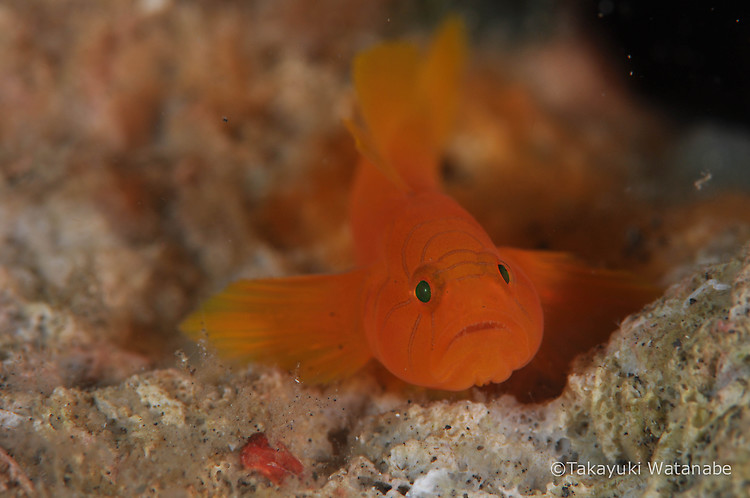 Orange Convict goby, Priolepis sp. Lembeh Strait Indonesia, March 2015