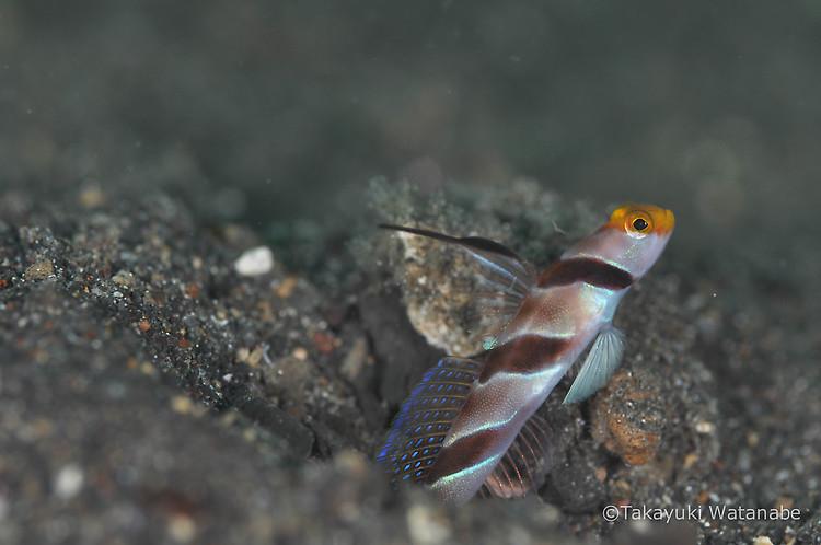 Black-Ray Goby, Stonogobiops nematodes, Lembeh Strait Indonesia, March 2015