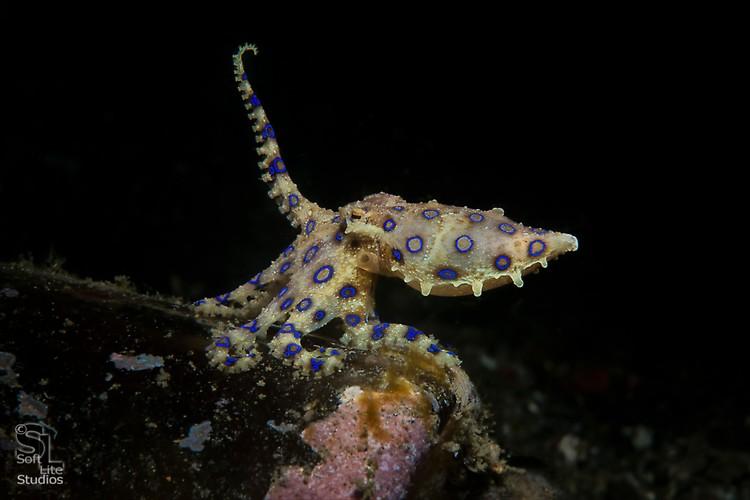 Blue-ringed Octopus (Hapalochlaena spp.), Lembeh Resort, Indonesia, Maret 2013