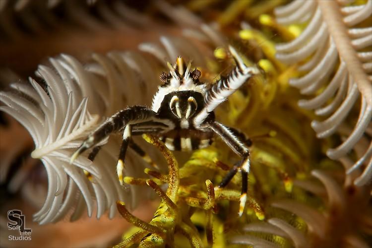 Elegant Crinoid Squat Lobster (Allogalathea elegans), Lembeh Resort, Indonesia, Maret 2013