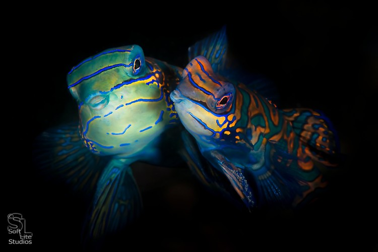 Mandarinfish (Synchiropus splendidus), Lembeh Resort, Indonesia, Maret 2013