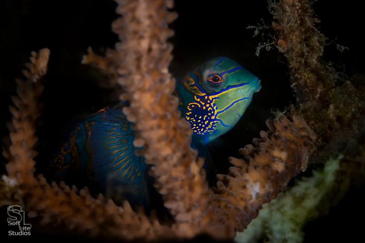 Mandarinfish (Synchiropus splendiddus), Lembeh Resort, Indonesia, Maret 2013