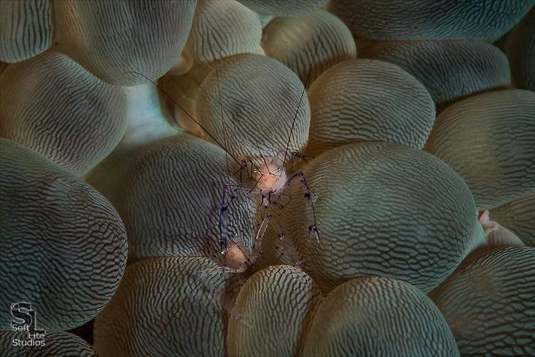 Bubble coral shrimp (Vir philippinensis), Lembeh Resort, Indonesia, October 2012