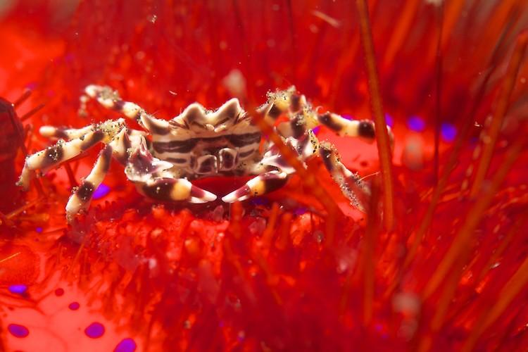 Zebra crab, Zebrida adamsii, Lembeh Strait Indonesia, December 2012