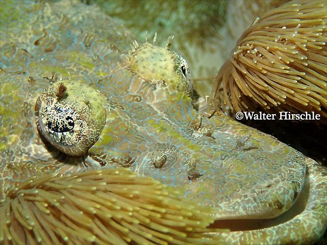 Crocodile-fish---WH
