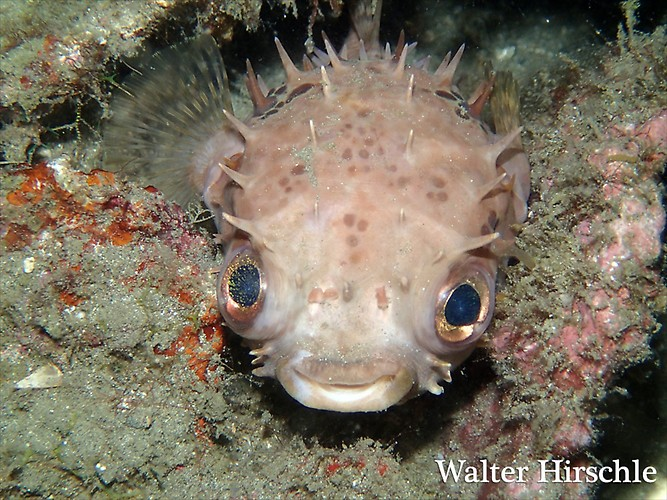 puffer---WH