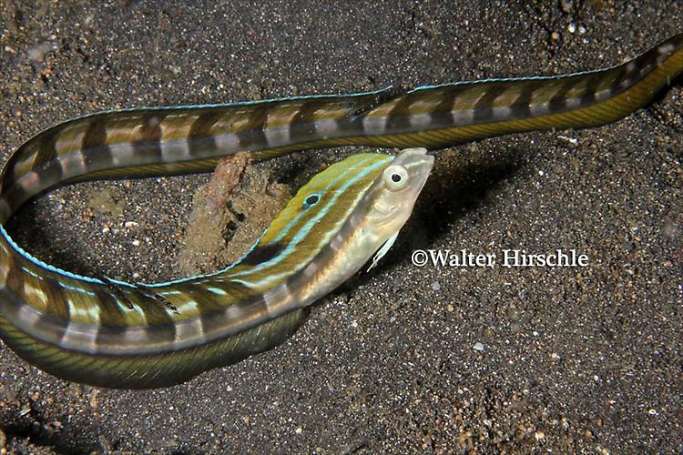 Snake-Blenny---WH