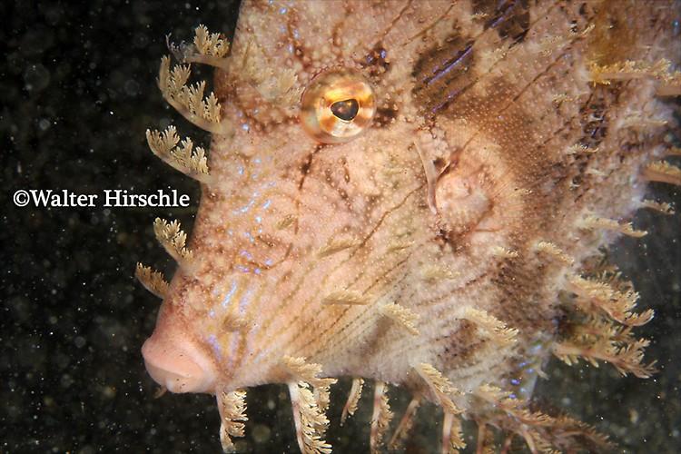 Weedy-Filefish---WH