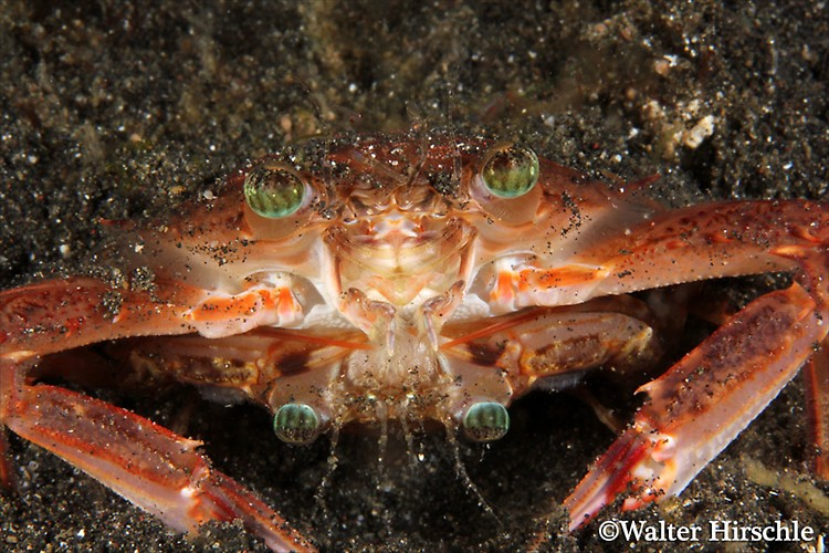 Mating-Crab---WH