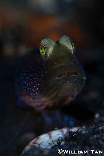Black Shrimpgoby ( Cryptocentrus sp.) Lembeh Strait Indonesia 2013