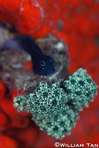 Blenny (Ecsenius sp.), Lembeh Strait Indonesia 2013