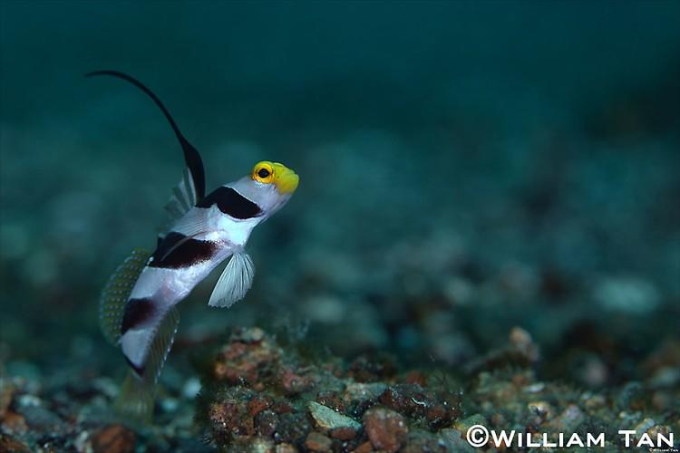 Black Rayed Shrimpgoby (Stonogobiops nematodes) Lembeh Strait Indonesia 2013