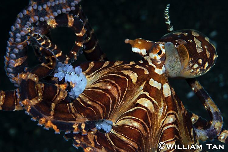 Wunderpus Octopus ( Wunderpus photogenicus) Lembeh Strait Indonesia 2013