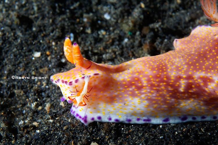 Ceratocoma teneu Nudibranch, Lembeh Strait, Indonesia, July  2013