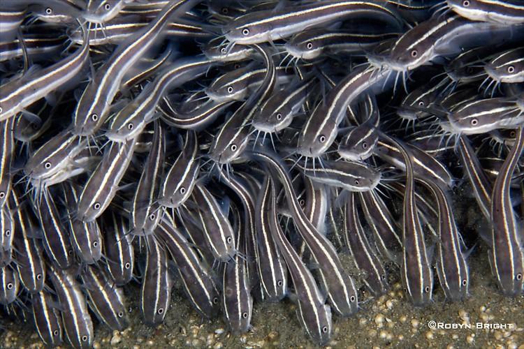 STRIPED CATFISH (Plotosus lineatus), Lembeh Strait, Indonesia, July  2013