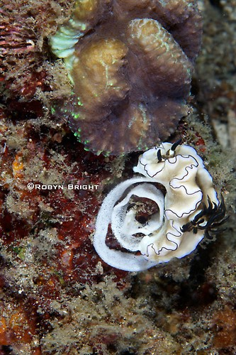 Glossodoris artromarginata Nudibranch, Lembeh Strait, Indonesia, July  2013