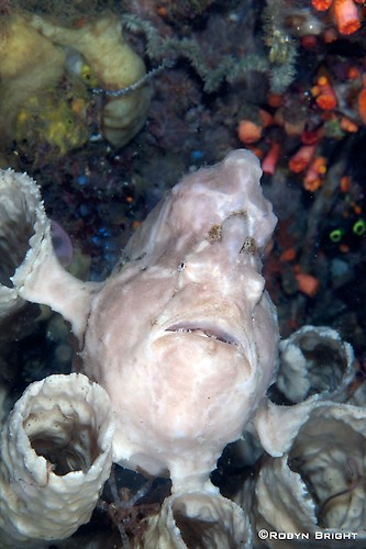 GIANT FROGFISH (Antennarius commersoni), Lembeh Strait, Indonesia, July  2013