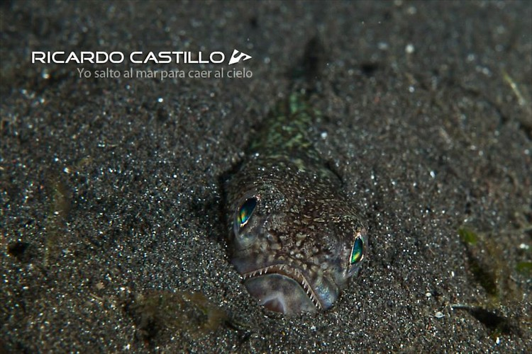 Lizard Fish, Lembeh Strait,Indonesia, July 2013