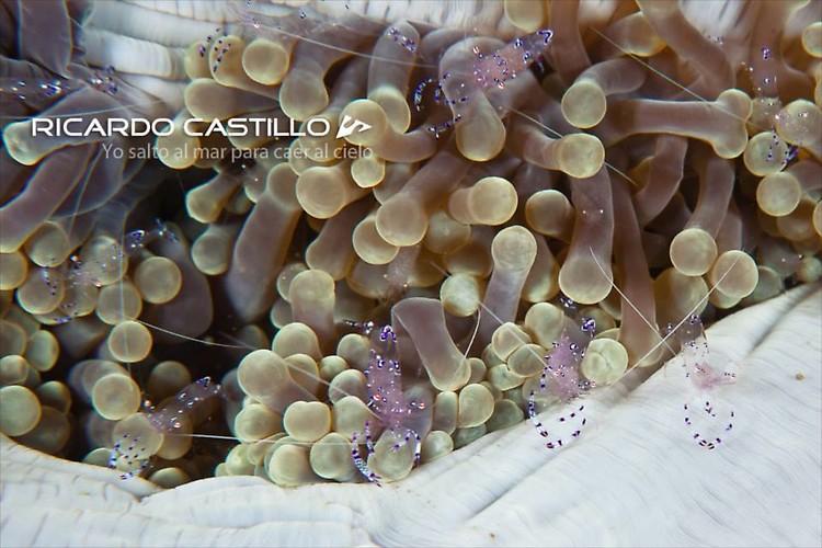 Comensal Shrimp, Lembeh Strait, Indonesia, 2013