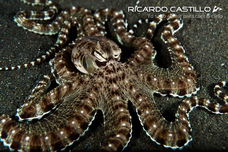 Mimic Octopus, Lembeh Strait, Indonesia, July 2013