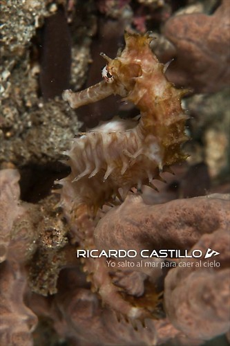 Thorny Seahorse/Spiny Seahorse, Lembeh Strait,Indonesia, July 2013