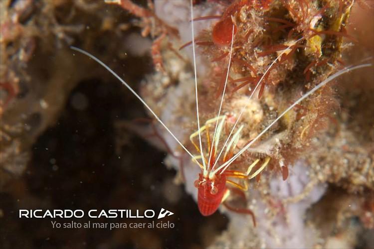 Lysmatella prima Shrimp, Lembeh Strait,Indonesia, July 2013