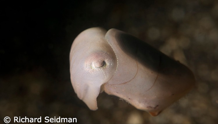 Juvenile Broadclub cuttlefish, Sepia latimanus, Lembeh Strait Indonesia April 2013